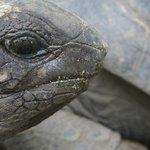 Giant turtois