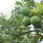 Un particolare del giardino dei limoni