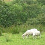Sheeps near Cae'r Blaidd Country House