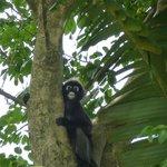 Dusky leaf monkey smiling on us