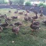 Ducks...lots of them