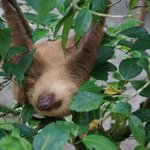 another sloth, a 2-toed sloth also called Bob