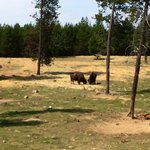 Cool to see buffalo lounging on the fringes of the park.  Take the train ride to see them.