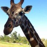 Giraffe Experience - feeding them lettuce and hay.
