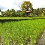 Balinese rice paddies, Ubud