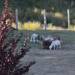 View of Resident Goats from Room