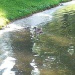 Anatroccolo in un laghetto del parco