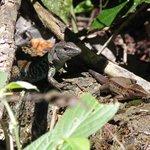 petits iguanes à Cabo Blanco