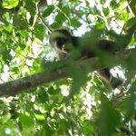 bébé singe-hurleur dans un arbre de l'hôtel