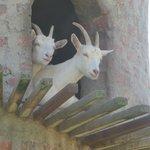 Goats do indeed roam!