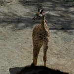 One of the baby giraffes we saw at the zoo