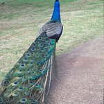Peacock at Smith's Tropical Plantation