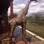 Giraffe near the restaurant and pool area.