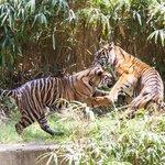 Tigers enjoying the beautiful day