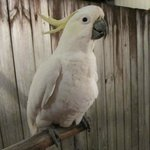 The cockatoo that welcomes all guests