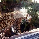 Femal Jaguar - Rikka