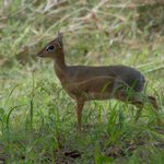 One of the dik-diks we saw from our porch