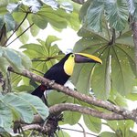 Chestnut-billed toucan