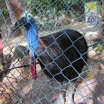 A cassowarry