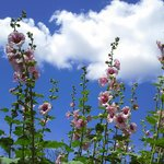 Hollyhocks in the garden and the blue Colorado sky.