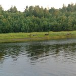 Reindeer across river from hotel
