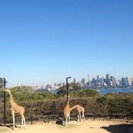 Giraffes with excellent view