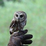 Saw-whet owl show