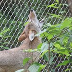 Coyote exhibet