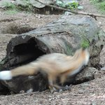 Red foxes playing in their enclosure