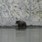 grizzly we saw in between Canyon area and Lake area