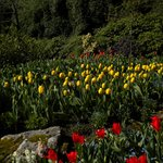 Tulips in the spring at Butchart Gardens