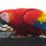 Macaw that came in to say hola