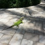 The friendly iguanas!