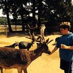 Feeding a reindeer