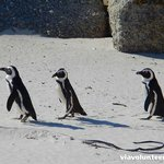 Penguins off for a waddle at Boulders Beach