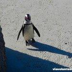 An African Penguin at Boulders Beach