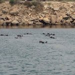 Lontre di mare