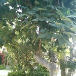 Fig tree in the Hotel Grounds