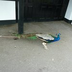 peacock around the shops