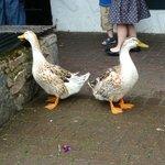 ducks around the cafe