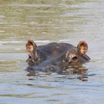 Ippopotami nella pozza