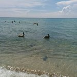 Pelicans fishing in Hollywood Beach, Florida