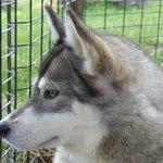 Eén van de 25 husky's