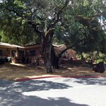 300 Year Old Oak Tree