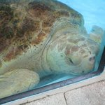 Turtle in recovering