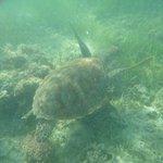Tartarughe intorno a Green Island