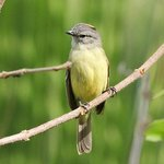 Yellow-crowned Tyrannulet in the garden