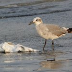 Laughing Gull on the Beach