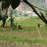 Rijst veld
