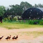 Organic Garden and Ducks loving the rain